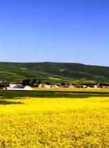 漫山遍野的油菜花.jpg